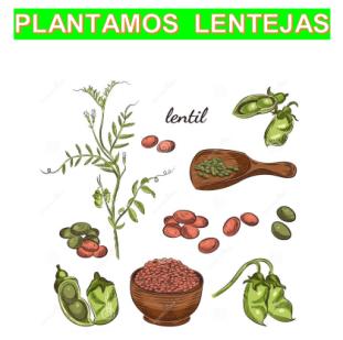 PLANTAMOS LENTEJAS